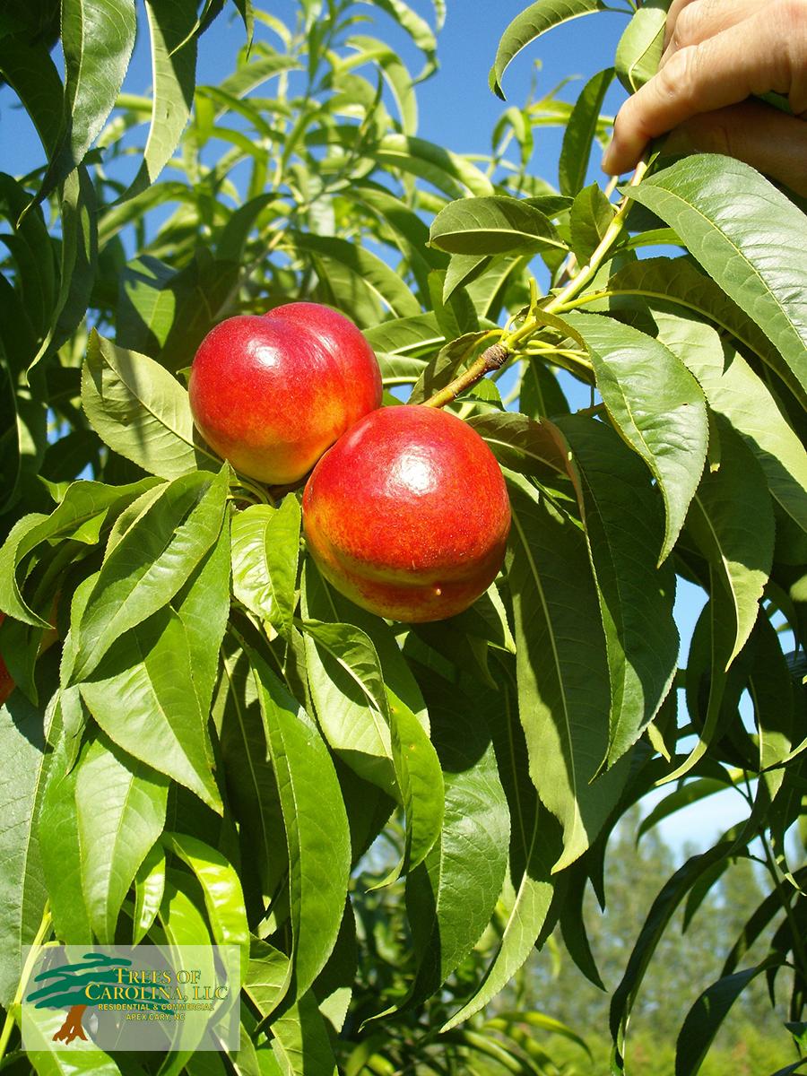 summer-pruning
