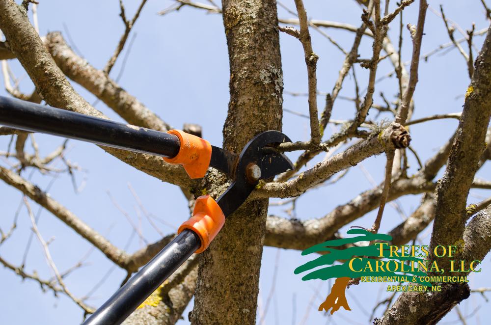 Pruning Trees in Carolina